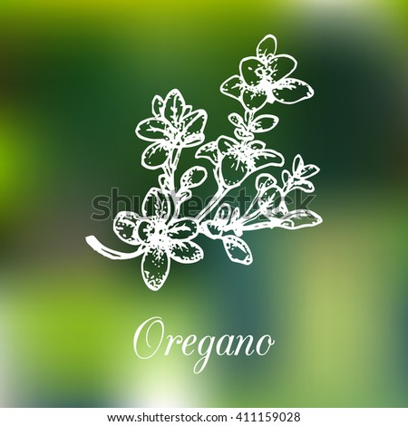 Vector oregano illustration on blur background. Hand drawn sketch of spice plant. Botanical herbal illustration. Green organic bio eco herb. Isolated. - stock vector