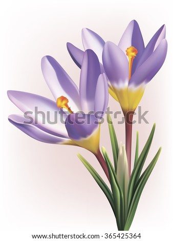 Vector photo-realistic crocus flower - stock vector