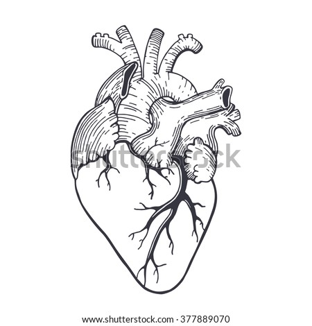 anatomical heart stock images, royalty-free images & vectors, Human body