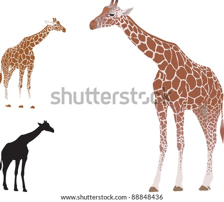 Vector realistic giraffe isolated on white background - stock vector