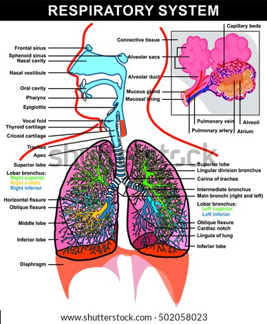 Respiratory system stock images royalty free images vectors vector respiratory system full details lung and alveoli structure ccuart Choice Image