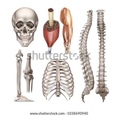 Vector Set Anatomy Realistic Human Bones Stock Vector 1038690940 ...