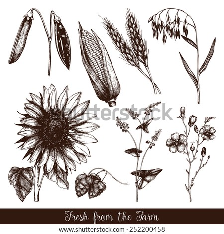 Vector set of  ink hand drawn agriculture plants sketch isolated on white. Eco food and plants background. Vintage  illustration - stock vector
