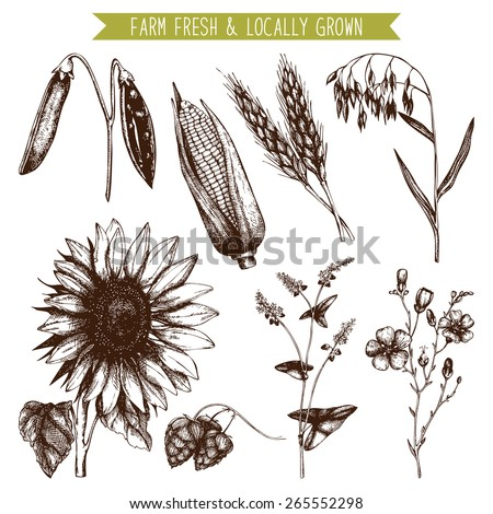 Vector set of ink hand drawn agriculture plants sketch isolated on white. Eco food and plants vintage illustration - stock vector