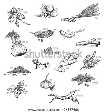 Vector set of natural, medicinal herbs and spices to prepare delicious and healthy food. Botanical illustrations.