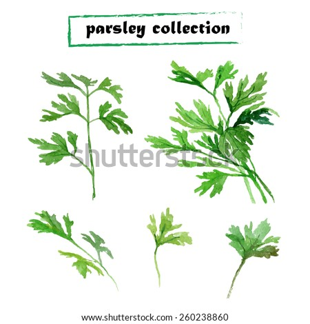 Vector set of watercolor parsley on white background. Herbs vector collection. - stock vector