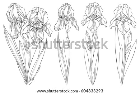 Vector set outline iris flower bud stock vector 604833293 vector set with outline iris flower bud and leaves in black isolated on white background pronofoot35fo Choice Image