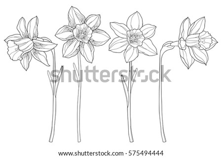 vector set with outline narcissus or daffodil flowers in black isolated on white background ornate