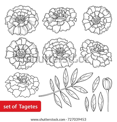 Vector Set With Tagetes Or Marigold Flower Bud And Leaf In Black Isolated On White