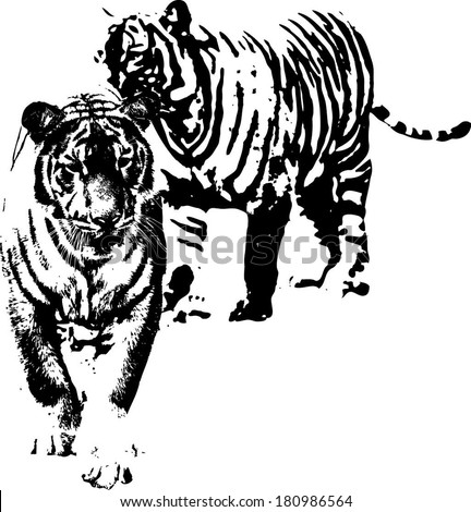 Vector silhouette of a pair of Malayan Tiger scientifically known as Panthera Tigris Jacksoni.  - stock vector