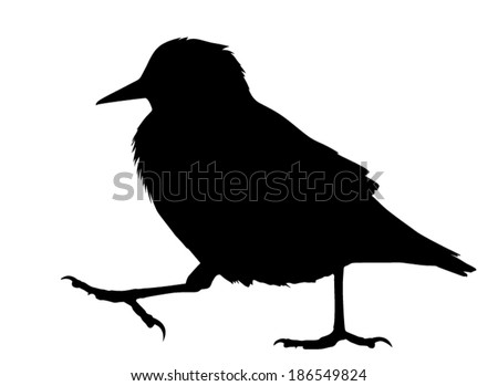 Vector silhouette of the European Starling walking.