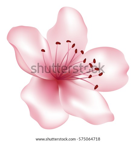 Vector single pink flower - tree blossom element. Blossom illustration isolated on white. Japanese or chinese cherry, sakura, peach flower. Spring bloom. Realistic petals and stamens. Icon, clip art.