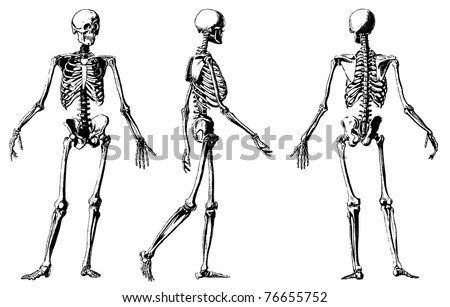 Vector skeleton from atlas published in 1851 (The iconographic encyclopedia of science, literature and art). Other engraved illustrations in my portfolio. - stock vector