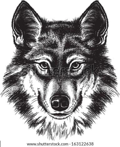 Vector sketch of a wolf's face - stock vector