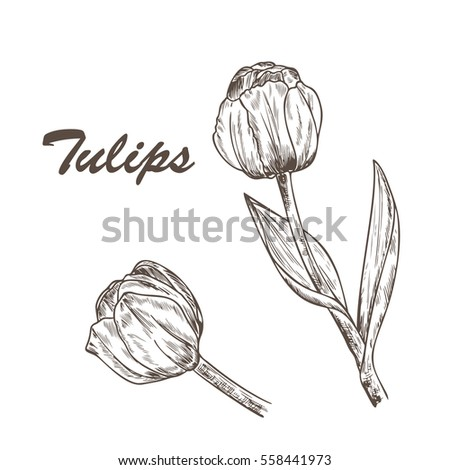 flower tulip hand drawn vintage tulips ink pen drawing