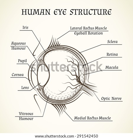 Vector structure of the human eye. Anatomy and medicine, iris and pupil, lens and macula, aqueous humour - stock vector