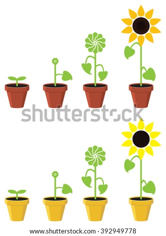 vector sunflower plant growth stages concept - stock vector