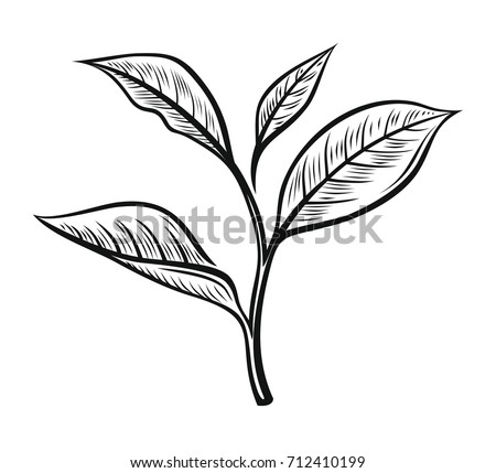 Vector Tea Leaves Drawn Herbal Illustration In Sketch Style