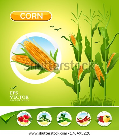 Vector vegetables. Corn