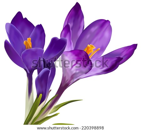 Vector violet snowdrop flowers on white background