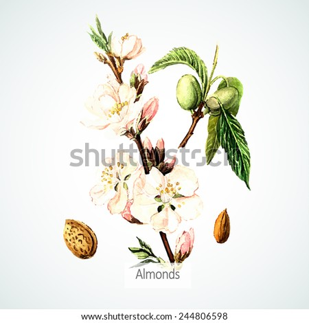 Vector watercolor Almonds. Botanical Illustration. Watercolor. Vector illustration. Illustration for greeting cards, invitations, and other printing projects. - stock vector