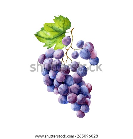 vector watercolor fruit grapes branch on white background