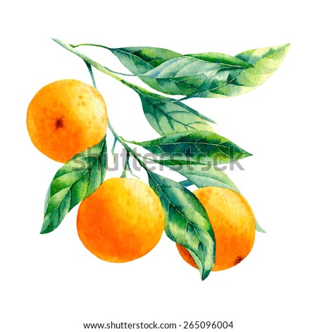 vector watercolor fruit orange branch on white background  - stock vector