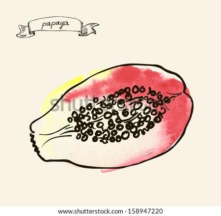 Vector watercolor hand drawn vintage illustration of papaya