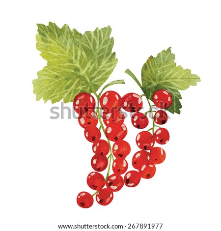 vector watercolor illustrations of red currant