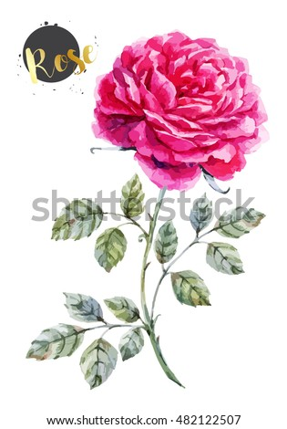 vector watercolor  isolated illustration, botanical illustration, luxury pink rose