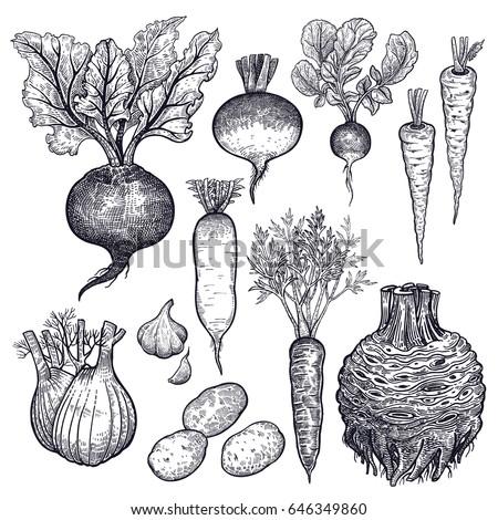 Drawing Beetroot Beet Half Food Diet Healthy Sketch With Drawing
