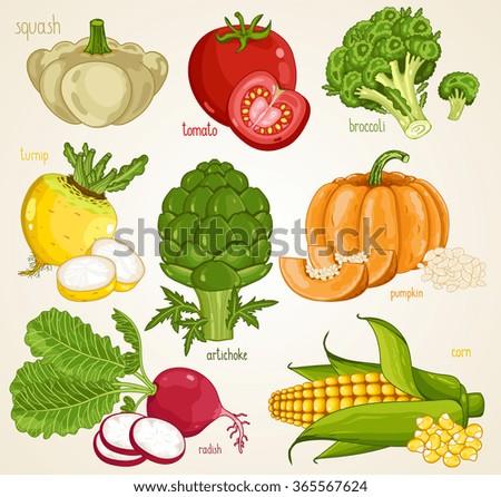 Vegetables isolated, Vegetable mix. Organic food, farm food. Vegetables vector, vegetables icon. Set of vegetables. Fresh vegetable, tomato, pumpkin, turnip, artichoke, squash, radish, broccoli. - stock vector