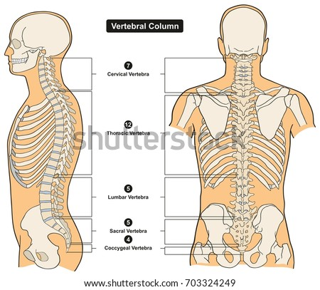 Vertebral column human body anatomy infograpic stock vector royalty vertebral column of human body anatomy infograpic diagram including all vertebra cervical thoracic lumbar sacral and ccuart Image collections