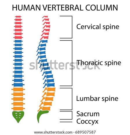 vertebrae stock images, royalty-free images & vectors | shutterstock, Human Body