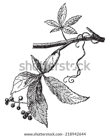 Vine Virgin, vintage engraved illustration. Dictionary of words and things - Larive and Fleury - 1895. - stock vector
