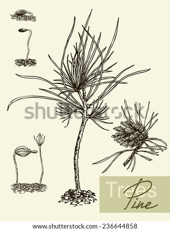 Vintage graphic Vector leaves, flowers and fruits of the pine. - stock vector