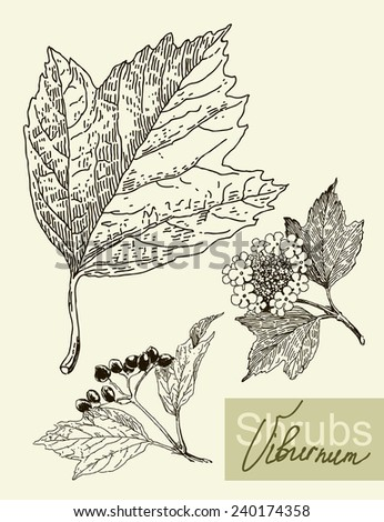 Vintage graphic Vector leaves, flowers and fruits of the viburnum. - stock vector