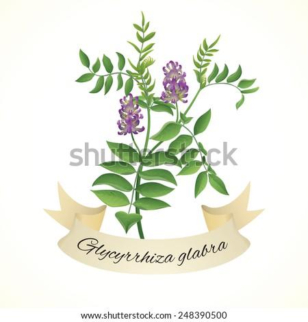 Vintage illustration of liquorice plant (Glycyrrhiza glabra) - stock vector