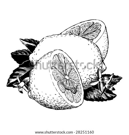 Vintage 1950s Lemons; detailed black and white from authentic hand-drawn scratchboard. - stock vector