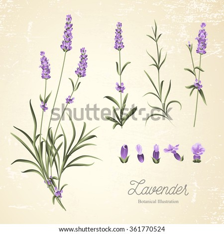 Vintage set of lavender flowers elements. Botanical illustration. . Lavender hand drawn. Watercolor lavender set.  Lavender flowers isolated on white background.