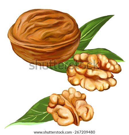 walnuts vector illustration  hand drawn  painted watercolor  - stock vector