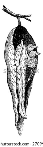 Warbler nest seamstress, vintage engraved illustration. Natural History of Animals, 1880.  - stock vector