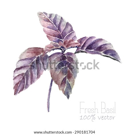 Watercolor basil leaves. Hand draw basil illustration. Herbs vector object isolated on white background. Kitchen herbs and spices banner. - stock vector