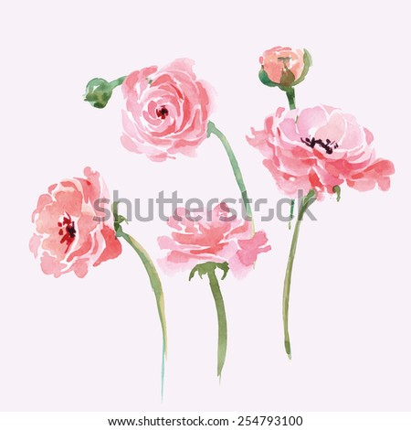 Watercolor blooming Ranunculus set. Hand drawn vector illustration. - stock vector