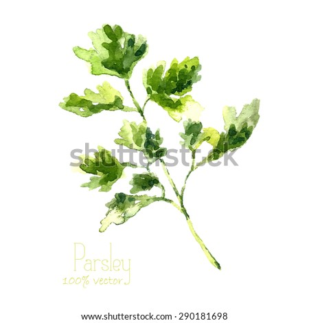 Watercolor branch of parsley. Hand draw parsley illustration. Herbs vector object isolated on white background. Kitchen herbs and spices banner. - stock vector