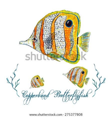 Watercolor Butterflyfish, isolated on white background. Tropical fish mascot, team logo. Elegant concept for Aquarium, Swimming Lessons, Diving courses & Eco Tourism. Element for your design. - stock vector