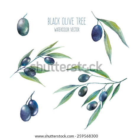 Watercolor dark olive branch set on white background. Hand drawn and isolated natural vector objects. Artistic food design collection - stock vector