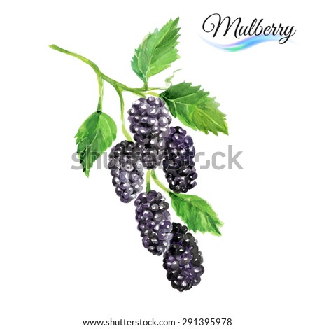 Watercolor fruit mulberry isolated on white background - stock vector