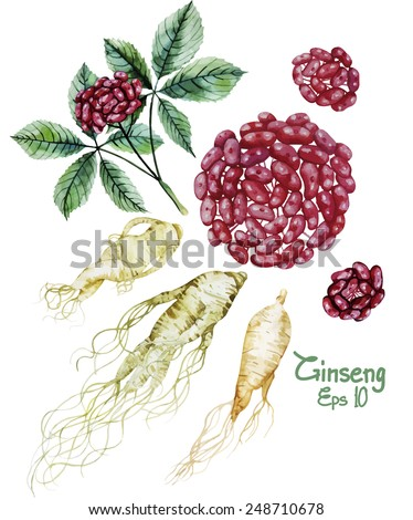 Watercolor ginseng root and berries. Vector set