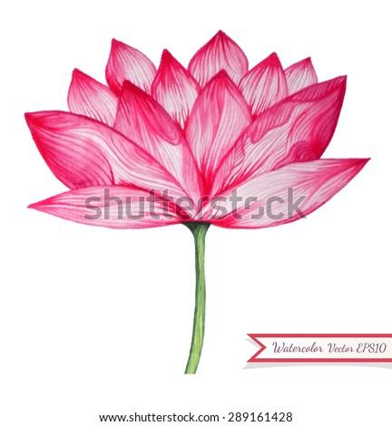 Pink Lotus Drawing Watercolor Pink Lotus